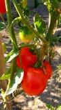Tomaten in tuin, knappe die drie worden gerijpt stock afbeeldingen