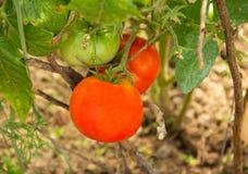 Tomaten und reifes geschmackvolles reifes der grünen Nahaufnahme auf dem Busch im Garten Stockfotos