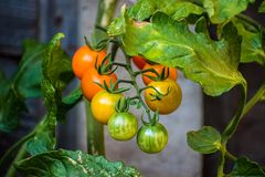 Tomaten van de zon de Gouden kers in verschillende stadia van rijpheid op de wijnstok royalty-vrije stock foto