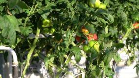Tomaten van verschillende kleuren en grootte in een serre stock footage