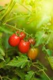 Tomaten wachsen Lizenzfreie Stockfotografie