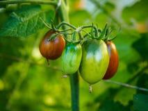 Tomaten wachsen auf den Niederlassungen im Garten Stockfotografie