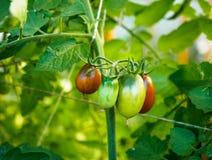 Tomaten wachsen auf den Niederlassungen im Garten Lizenzfreie Stockfotos