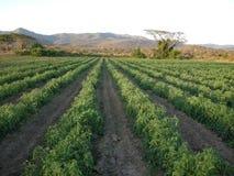 Tomatenaanplanting Royalty-vrije Stock Afbeeldingen