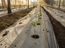 Tomatenbearbeitung lizenzfreies stockfoto