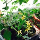 Tomatenbloemen Royalty-vrije Stock Fotografie