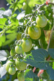 Tomatenboom Stock Foto