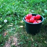 Tomateneimer im Gras Stockfoto