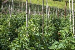 Tomatenfeld Stockfotos