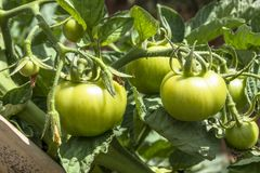 Tomatenfeld Lizenzfreie Stockbilder