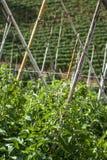 Tomatenfeld Lizenzfreie Stockfotografie
