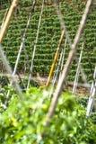 Tomatenfeld Stockbilder
