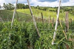 Tomatenfeld Stockfoto