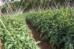 Tomatenfeld Lizenzfreie Stockfotos