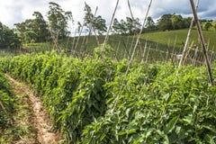 Tomatenfeld Lizenzfreies Stockbild