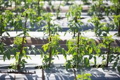 Tomatengebied in Vietnam Stock Foto