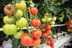 Tomatengewächshaus stockfotos