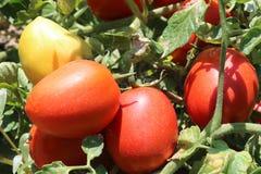 Tomatengewas De groei van tomatenplanten royalty-vrije stock afbeeldingen