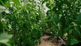 Tomatengewas in het solarium stock videobeelden