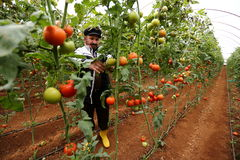 Tomatenlandbouwer Stock Fotografie