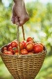 Tomatenoogst in de zomer royalty-vrije stock afbeeldingen