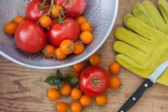 Tomatenoogst vers van de tuin Stock Afbeeldingen