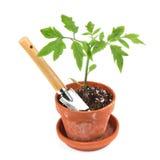 Tomatenpflanze Stockfotografie