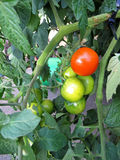 Tomatenpflanze stockfotos