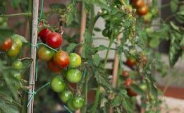 Tomatenpflanze Stockbild