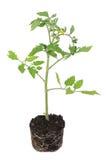 Tomatenpflanze Lizenzfreie Stockfotos