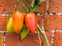 Tomatenpflanze auf Wand Stockfotos