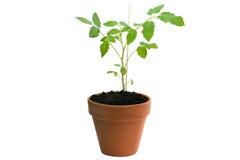 Tomatenpflanze im Topf lokalisiert Stockfotografie