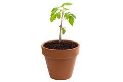 Tomatenpflanze lokalisiert gegen Weiß Stockfoto