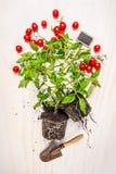 Tomatenpflanze mit Wurzel, Boden, roten Kirschtomaten und Gartenschaufel auf weißem hölzernem Hintergrund, Stockfoto