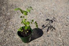 Tomatenpflanze (Nachtschatten Lycopersicum) in der rauen Umwelt Stockfotografie