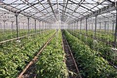 Tomatenpflanzen Lizenzfreies Stockfoto