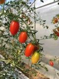 Tomatenpflanzen Stockbild