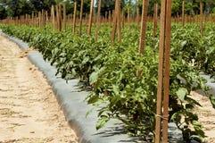 Tomatenpflanzen in bebauten Reihen Stockfotografie