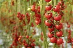 Tomatenpflanzen in der natürlichen Leuchte Lizenzfreie Stockfotos