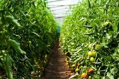 Tomatenpflanzen, die innerhalb eines Gewächshauses wachsen Stockfoto