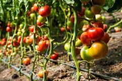 Tomatenpflanzen, die innerhalb eines Gewächshauses wachsen Stockbild
