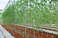 Tomatenpflanzen im Bauernhof unter Gemüsegewächshaus Stockfotos