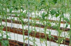 Tomatenpflanzen im Bauernhof unter Gemüsegewächshaus Lizenzfreie Stockfotografie