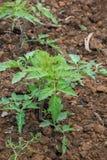 Tomatenpflanzen im Garten Landwirtschaftlich, Industriekonzept lizenzfreie stockfotos