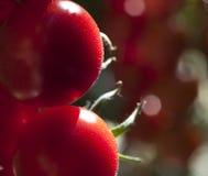 Tomatenpflanzen im Gewächshaus Stockfotografie