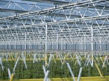 Tomatenpflanzen im Gewächshaus Lizenzfreies Stockbild