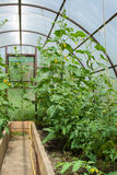 Tomatenpflanzen und Gurkenanlagen in den Gemüsegewächshäusern Lizenzfreies Stockbild
