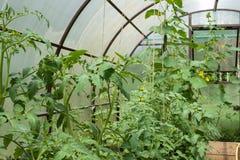Tomatenpflanzen und Gurkenanlagen in den Gemüsegewächshäusern Stockfotos