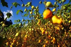 Tomatenphantasie Lizenzfreies Stockfoto