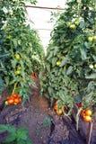 Tomatenplant Royalty-vrije Stock Foto